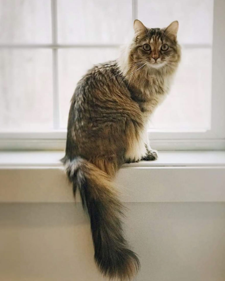 Emily Taylor's cat Finnigan, a domestic shorthair - Maine coon mix
